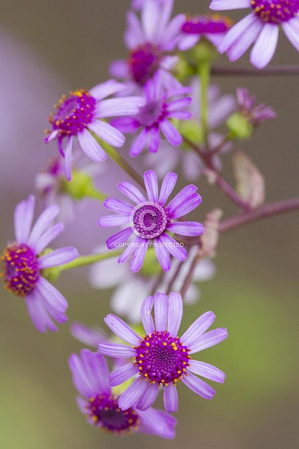 Canary Islands Flowers