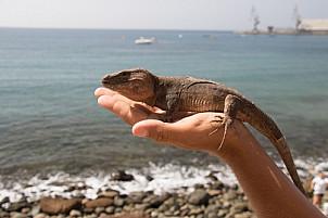 The Gran Canaria Lizard
