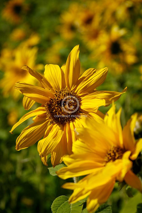 Sunflowers at Guayedra - Gran Canaria