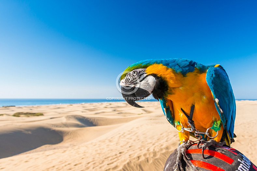 Maspalomas Macaw