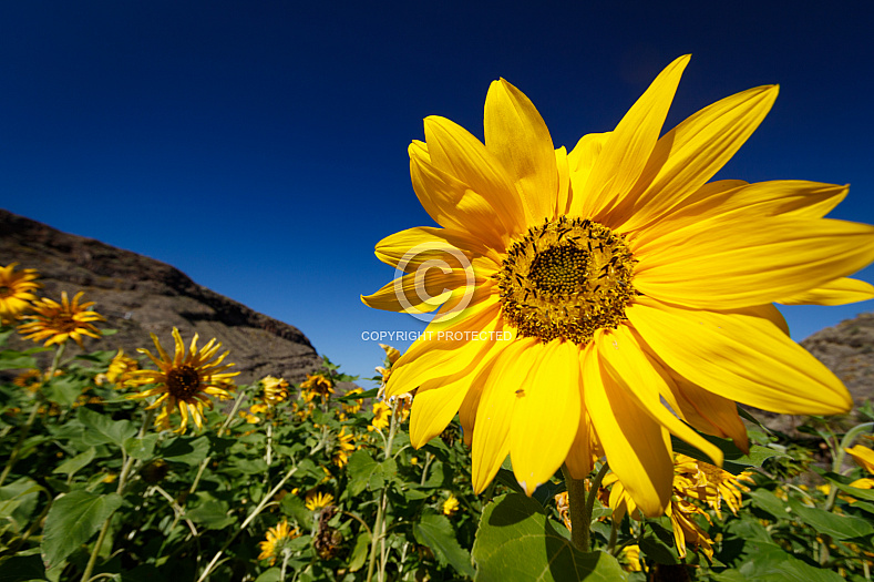 Sunflowers at Guayedra - Gran Canaria