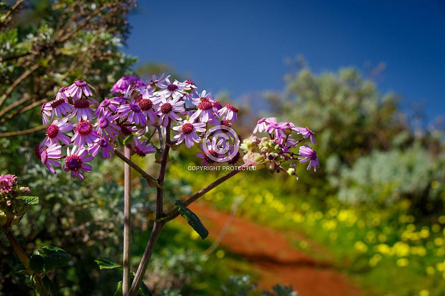 Flowers - near Teror