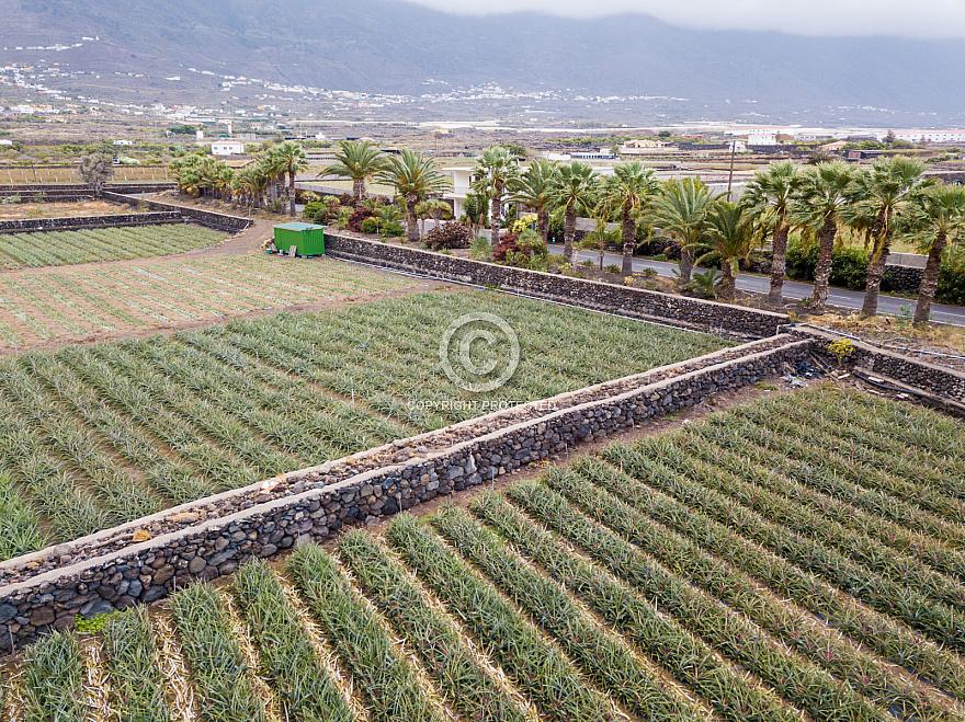 Pineapple fields - El Hierro