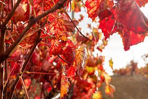Red leaves vineyard - El Hierro