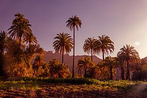 Palms in Ingenio de Santa Lucía - Gran Canaria
