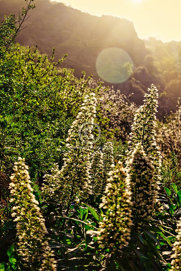 flowering plants in Agaete Valley