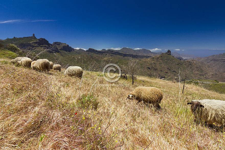 Tejeda Sheep