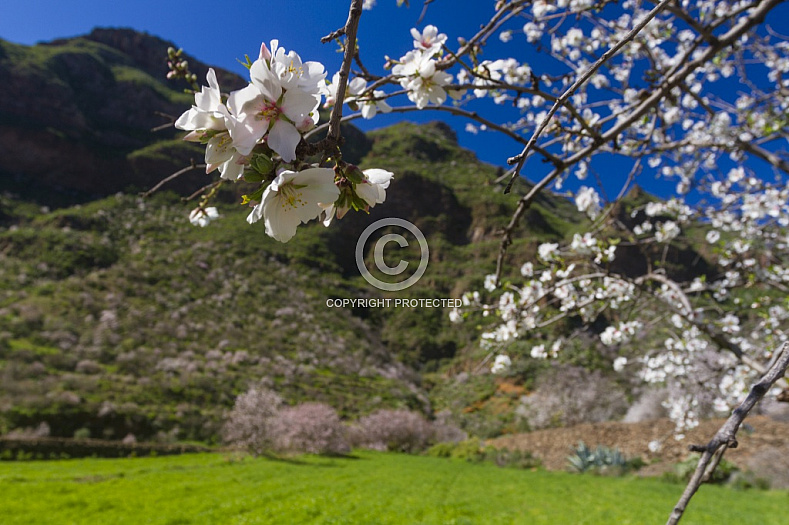 Almond blossom in Guayadeque